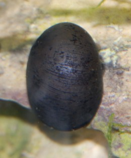 "Neritina pulligera ""red lips/baseball hat nerite"""