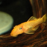 L144- Blue-eyed ancistrus pleco