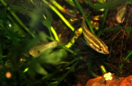 "Parosphromenus linkei- ""Moonspot Licorice Gourami"""