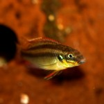 male Pelvicachromis