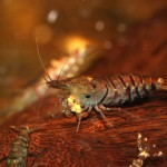 Tiger shrimp on wood