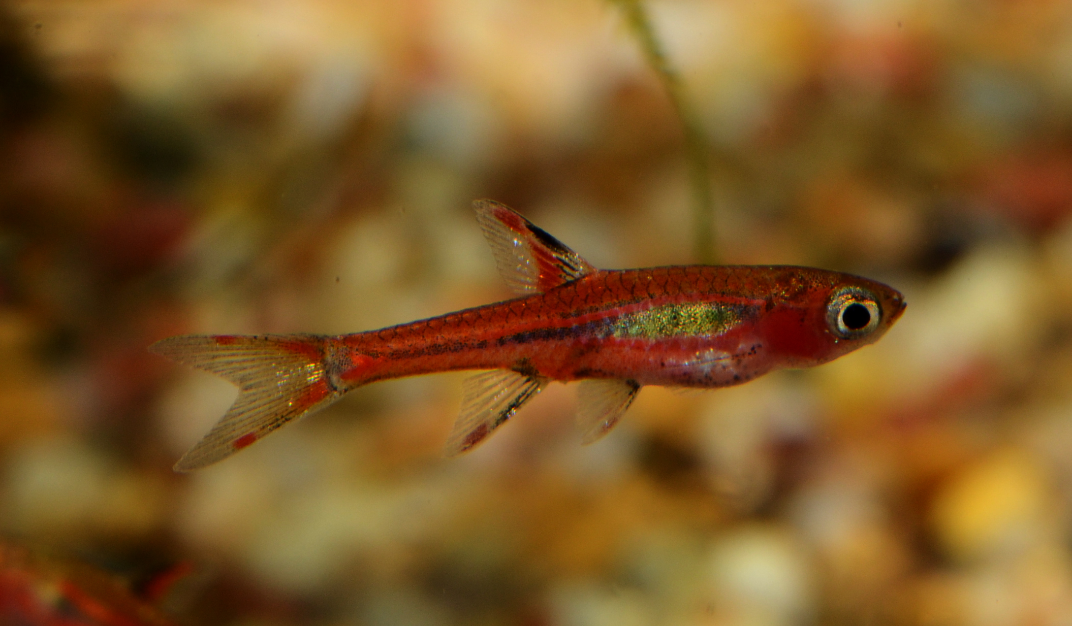Chili rasbora - Invertebrates by Msjinkzd