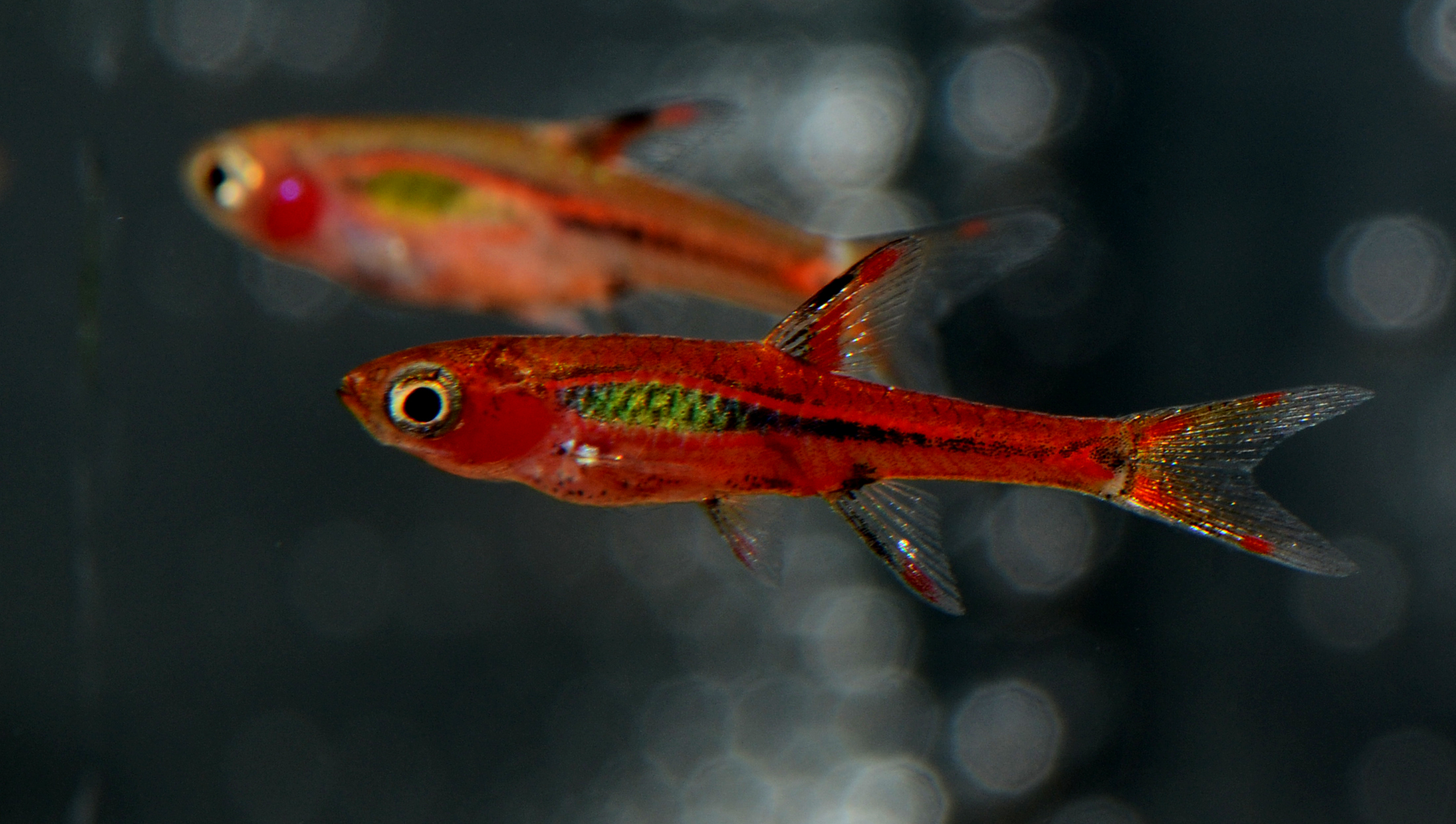 Chili rasboras are back in stock! AND more ...