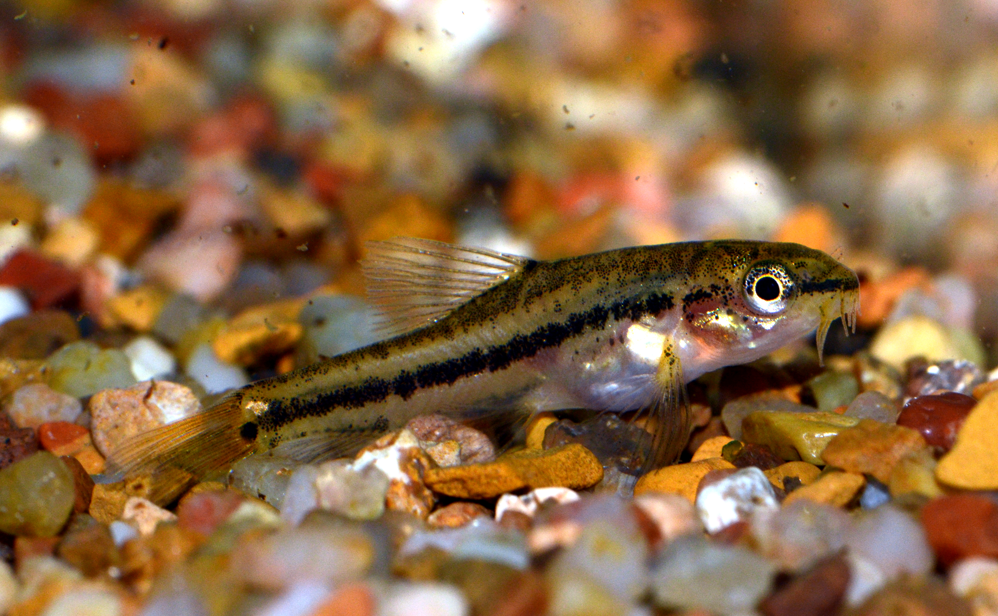 Rosy loach invertebrates by msjinkzd for Loach fish types
