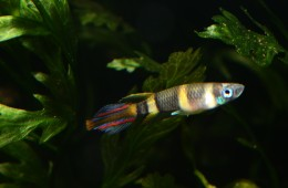 "Epiplatys annulatus ""Rocket/Clown Killie"""