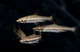 "Nannostomus trifasciatus- ""Three-lined pencilfish"""