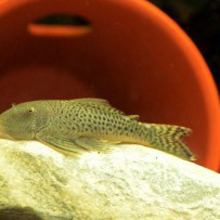 "Chaetostoma sp L187a- ""Spotted bulldog pleco"""
