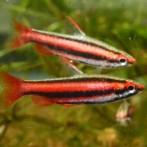 Pencils, Amano shrimp, and Chili Rasboras back in stock!