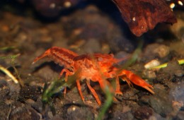"Cambarellus patzcuarensis sp orange ""cpo/dwarf orange crayfish"""