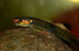 "Stiphodon sp. ST02- ""Gold cheek goby"""