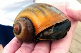 "Pomacea canaliculata- ""Channeled apple snail/Giant apple snail/Cana snail"""