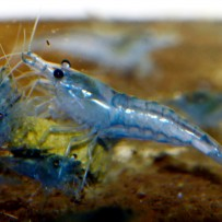 Feeding advice for shrimp! Shrimp balls ensue!