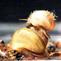 "Cipangopaludona chinensis malleata- ""Trapdoor Snail/Chinese Mystery Snail"""