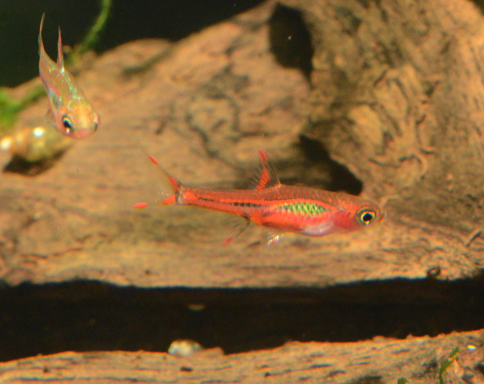 Pencils, Amano shrimp, and Chili Rasboras back in stock ...